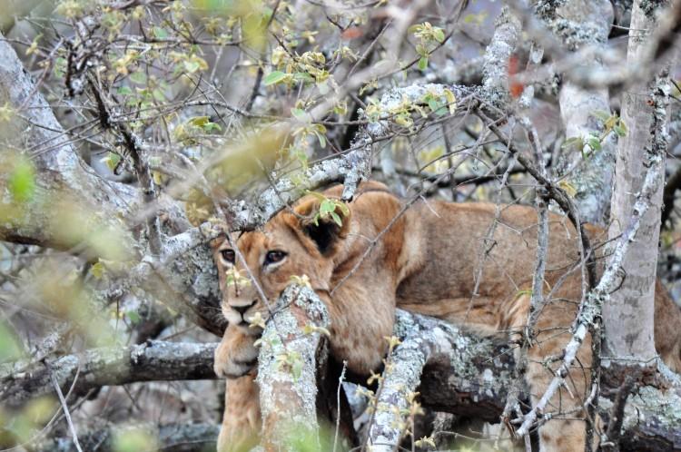 First generation Rwanda-born lion cubs © Stuart Slabbert